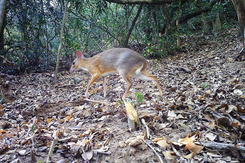 مشاهده موش گوزن ویتنامی پس از 30 سال